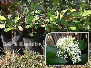 Tanaman Bunga Soka (Ixora Sp.)