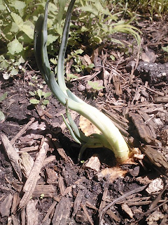 basement onion fifth day after re-planting