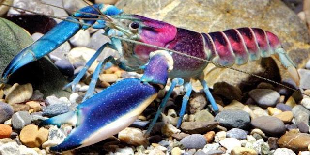 Lobster Baru dari Indonesia Paling Cantik di Dunia