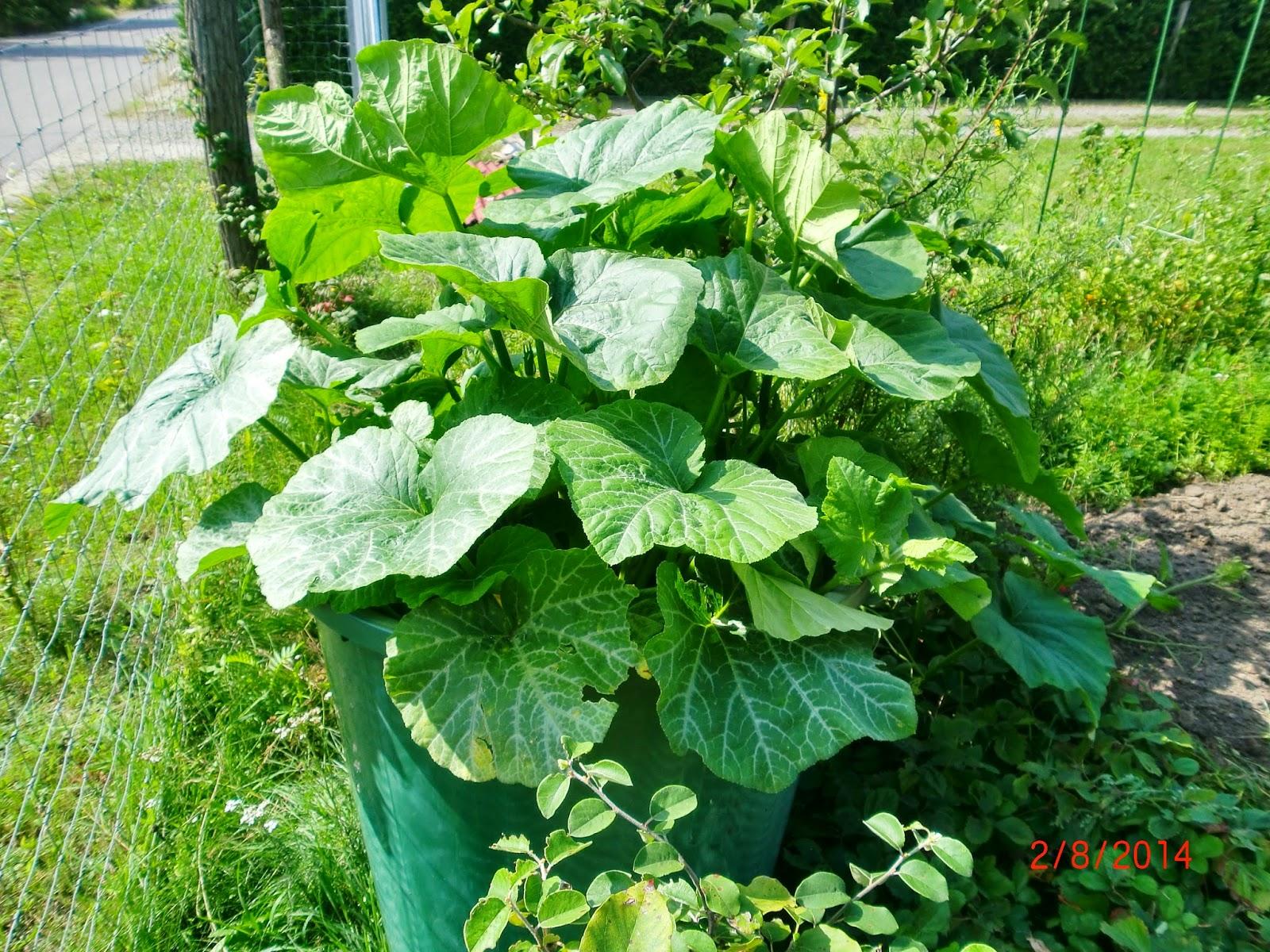 Hochbeet+mit+K%C3%BCrbispflanzen+2014 Inspiration Sichtschutz Balkon Einseitig Durchsichtig Schema
