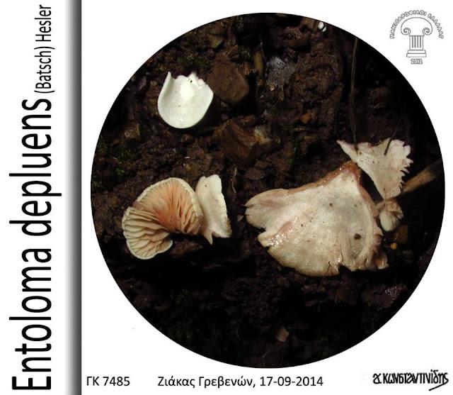Entoloma depluens (Batsch) Hesler