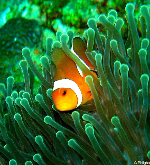 Clown fish in Thailand