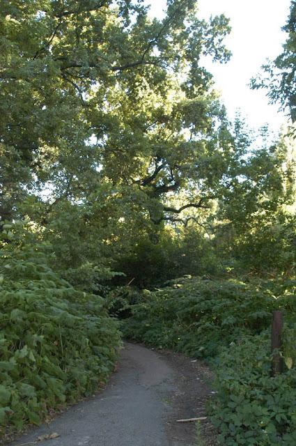 дубы, дорога, Сырецкий парк