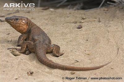 Gran Canaria giant Lizard
