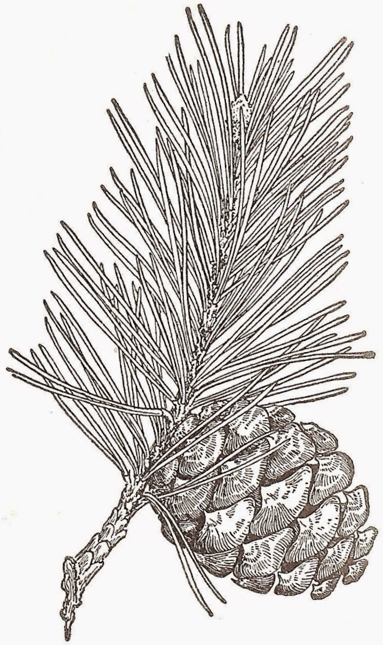 Artzeeccc Vintage Black And White Ink Drawing Pine Tree