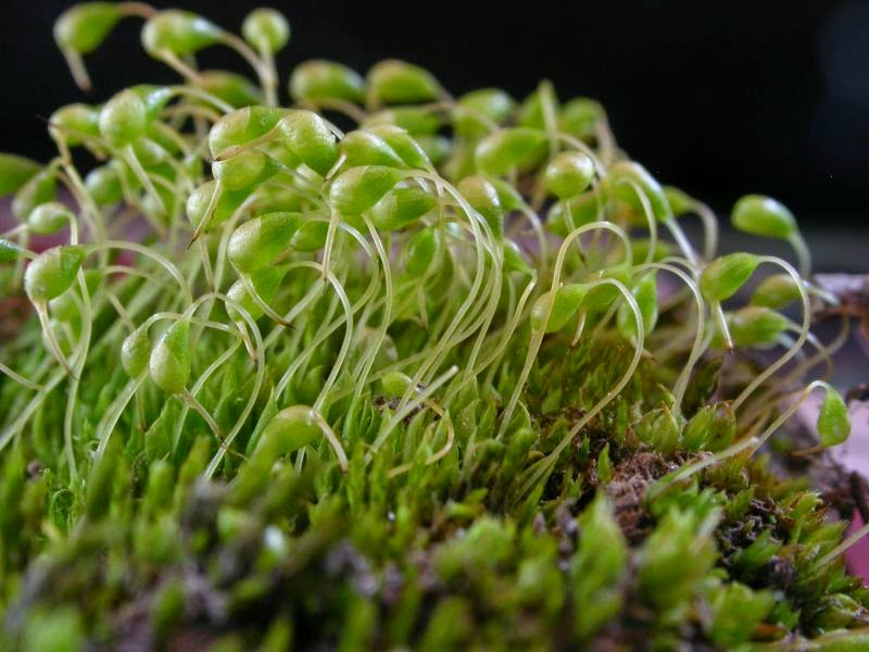 Quiz On Bryophytes on Plant Life Cycle Sporophyte