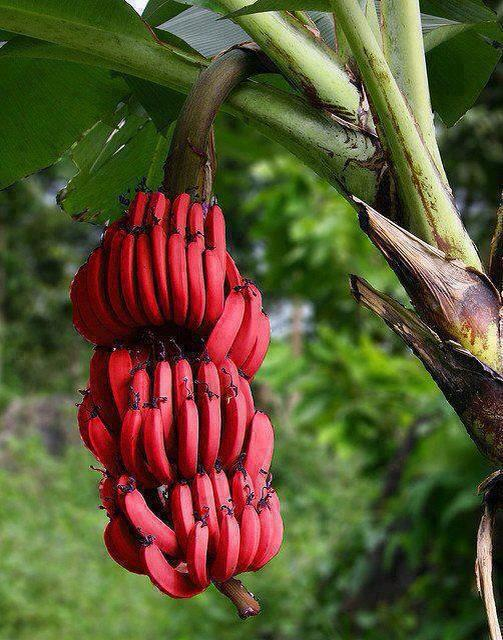 Musa acuminata 39 red dacca 39 red bananas all about plant for Banano de jardin