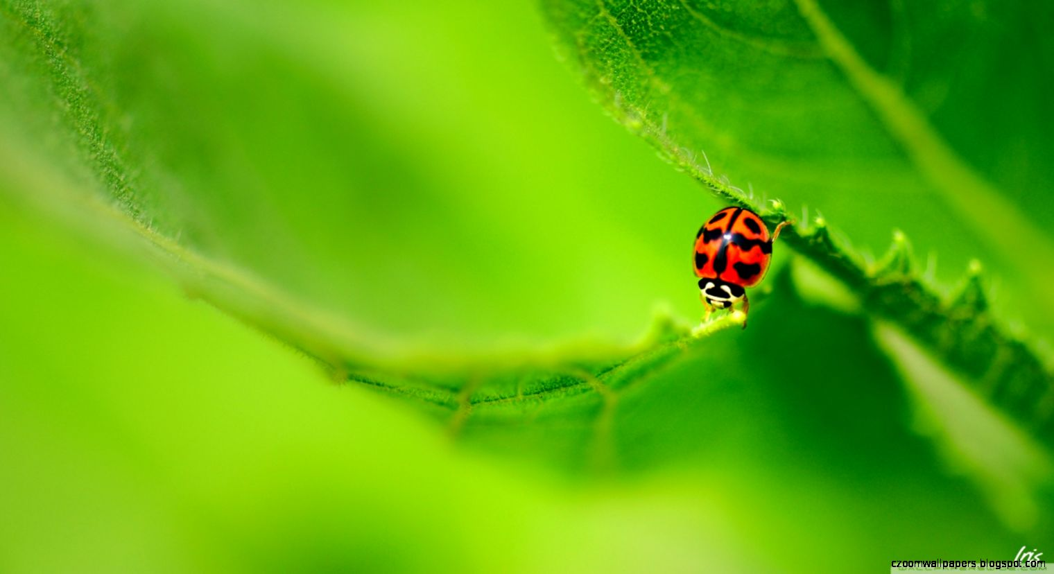 Ladybug On A Green Leaf HD desktop wallpaper  Widescreen  High