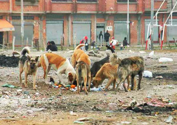 Perros en El Alto, Bolivia