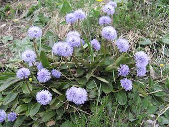 Globularia cordifolia, (Globularia strisciante)
