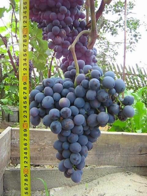 Виноград гала  описание