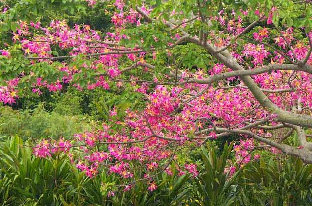 Chorisia speciosa, tree, flowers