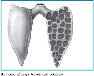 Bentuk paru-paru pada Amfibi