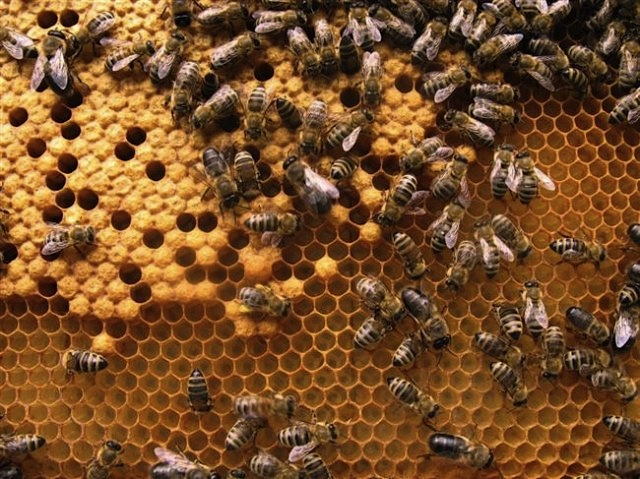 bees storing honey in honeycomb