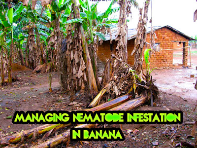 Managing nematode infestation in banana