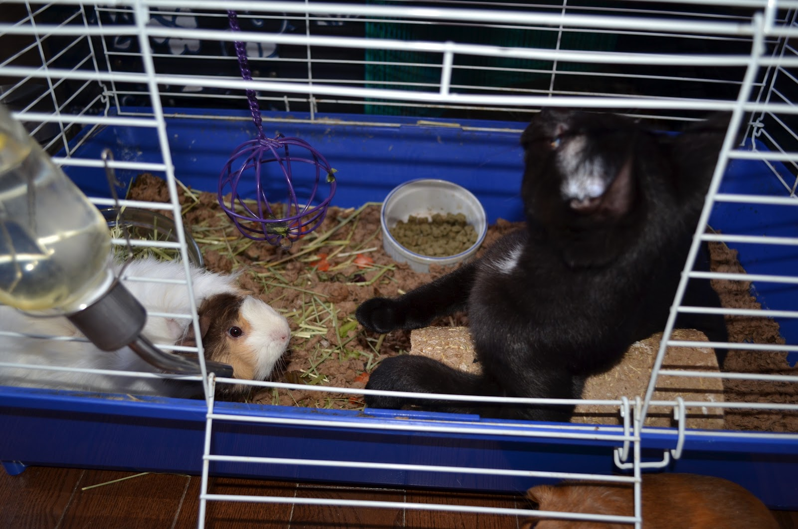 Cavy savvy a guinea pig blog guest piggies ophy and gatsby for Guinea pig cage for 3