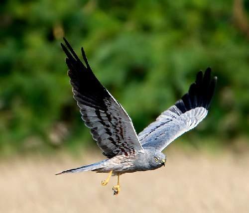 Indian birds - Image of Montagu's harrier - Circus pygargus