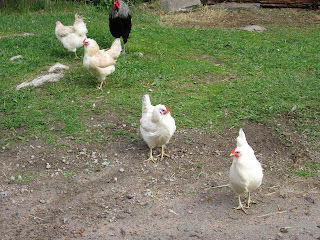 Hedemorahöns, hedemora, höns, tupp, kycklingar, ägg