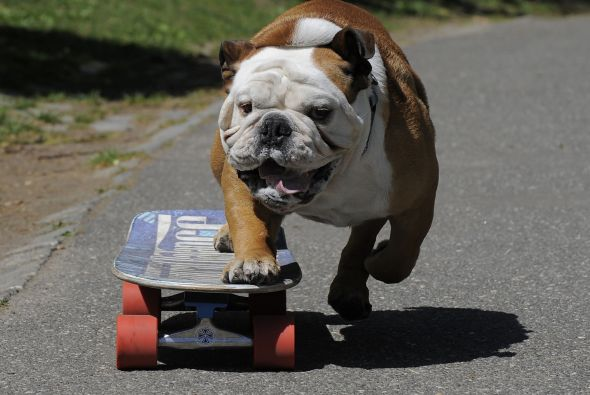bulldog en patineta