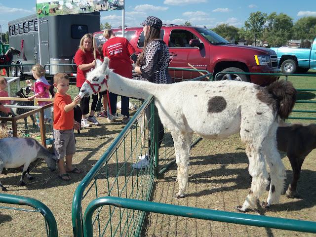 llama petting zoo