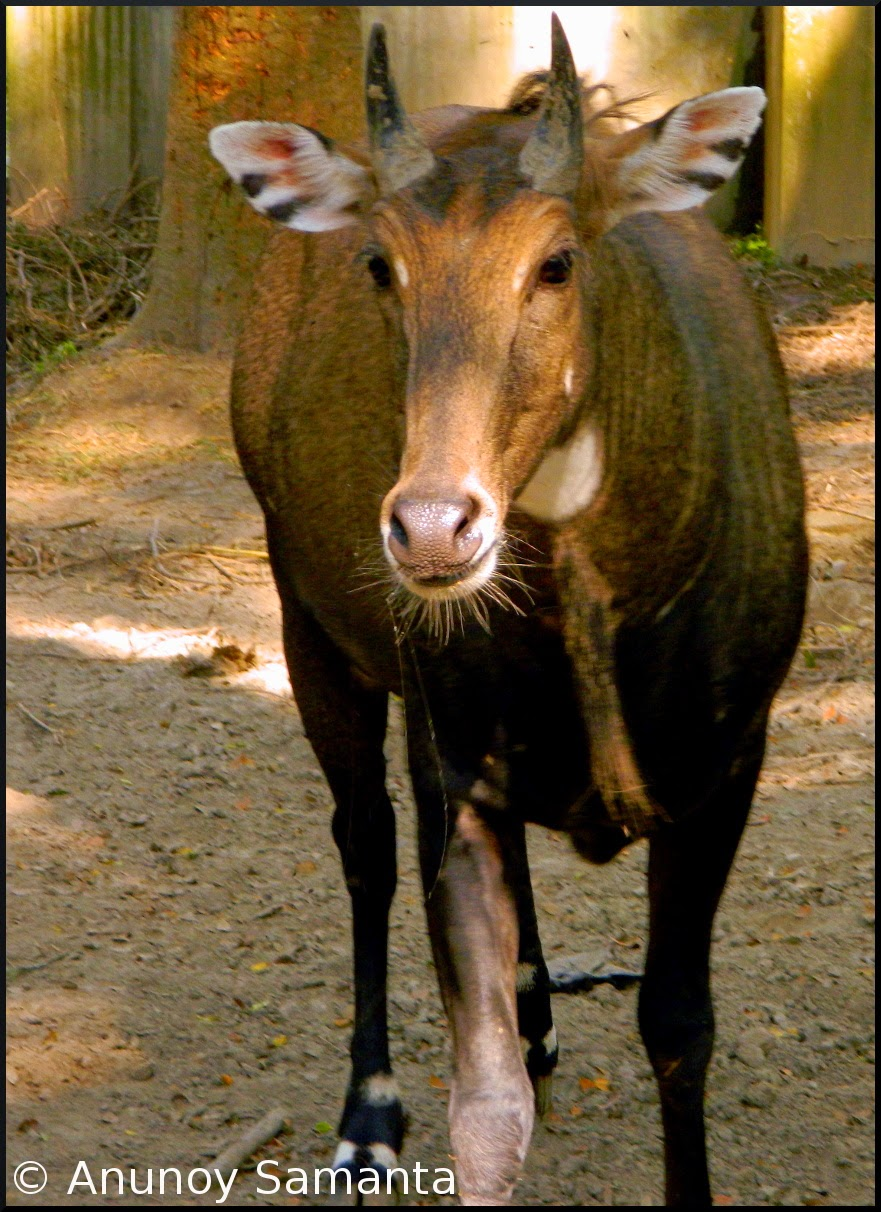 Nilgai of Bethuadahari Wildlife Sanctuary