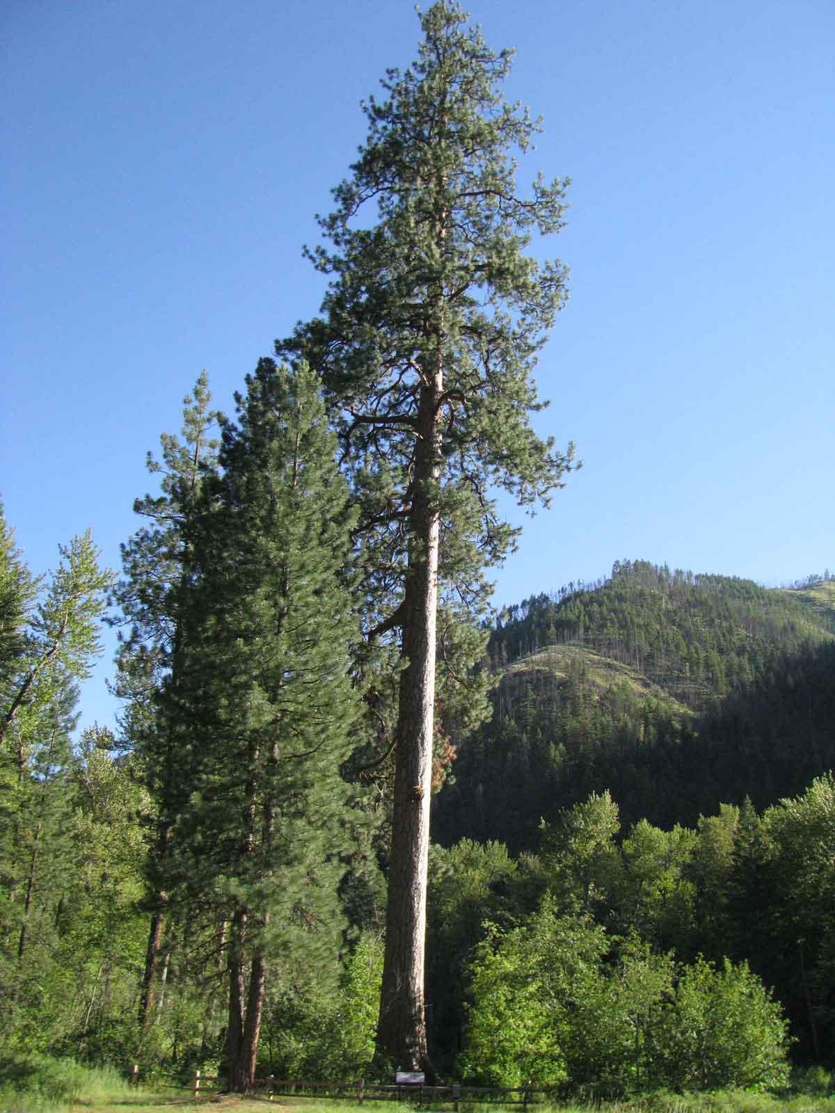 Ponderosa Pine Tree Images Ponderosa Pine Tree Im...