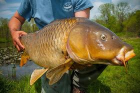 Pond Carp