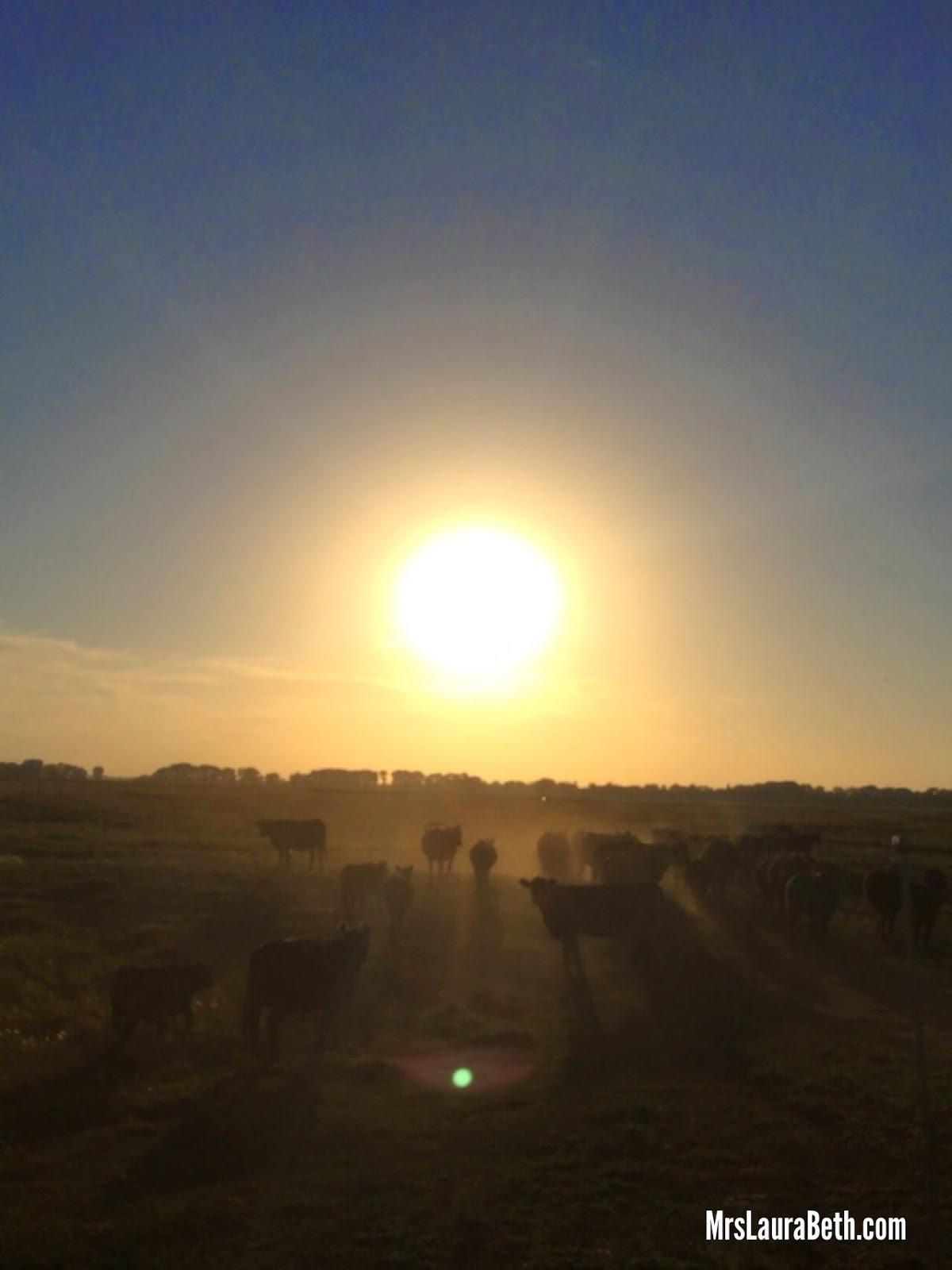 cattle; black angus; farm; ranch