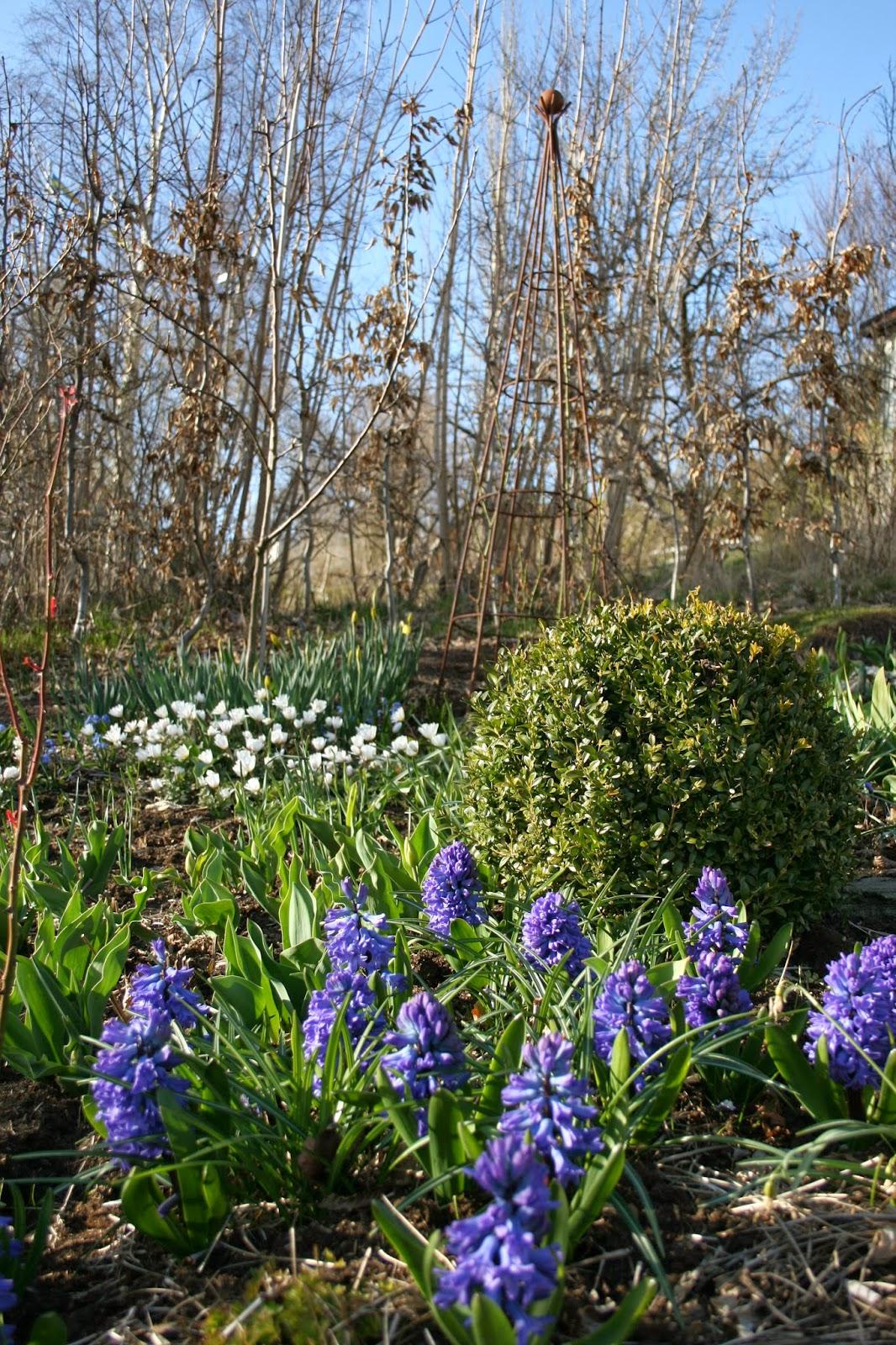 trädgårdshyacint 'Delfts Blå'
