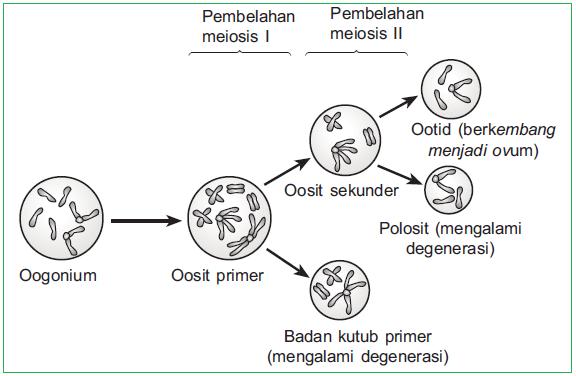 Proses spermatogenesis dan oogenesis pengertian gametogenesis diagram oogenesis ccuart Image collections