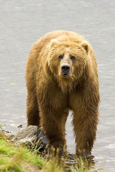 características, alimentação, reprodução e distribuição do Urso pardo (Ursus arctos)