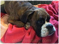 Boxer Amy ist faul