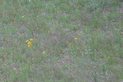 field with Black-eyed Susan and milkweed