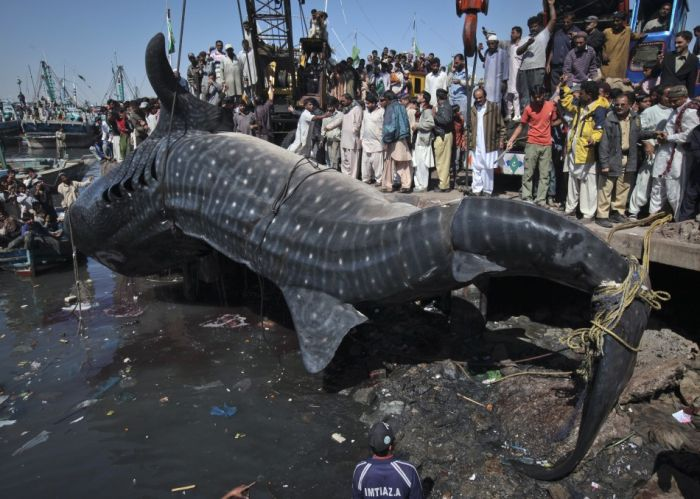 Celebrities Show: Giant Whale Shark Washes Ashore In Pakistan