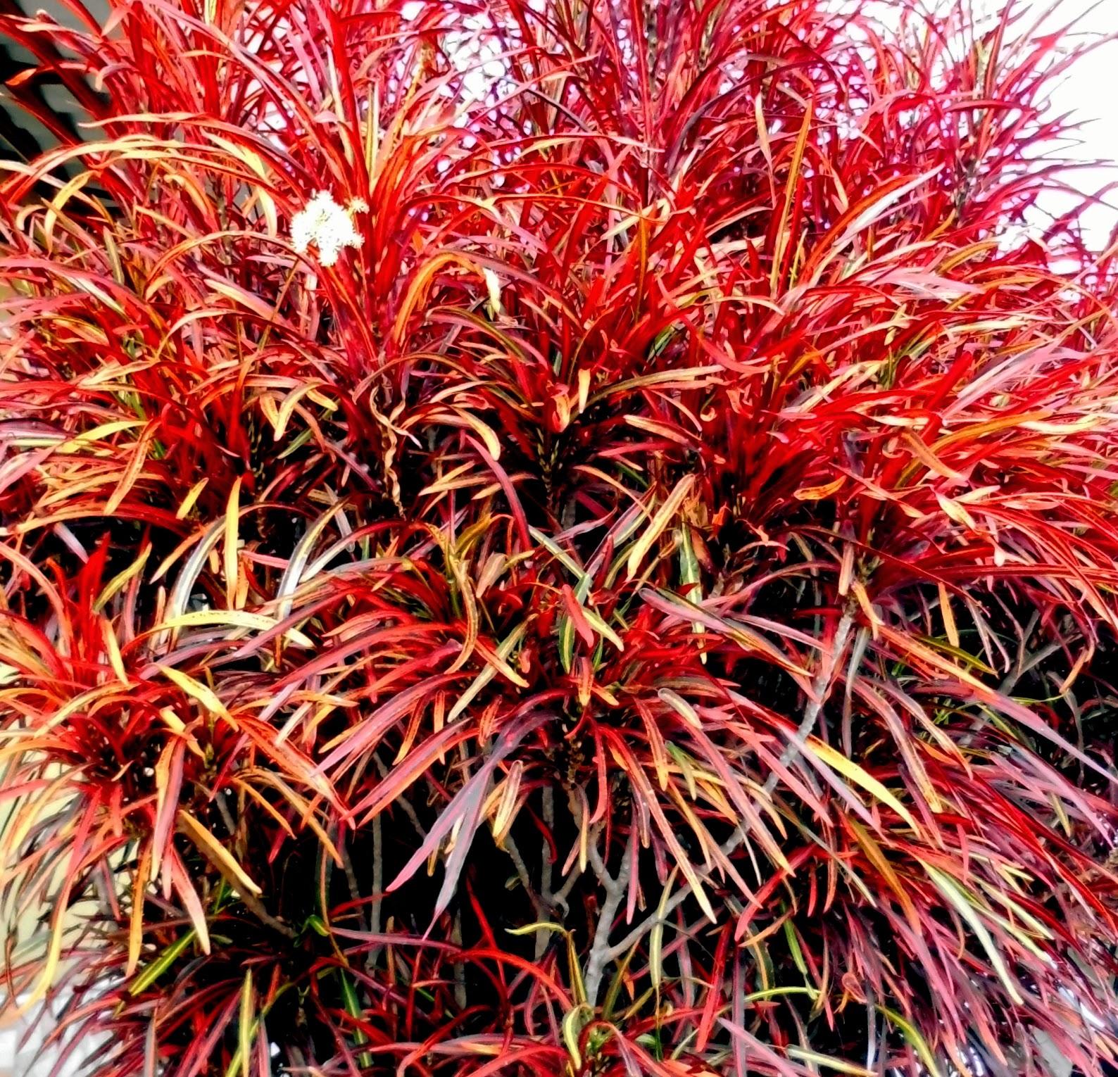 Croton Rojo