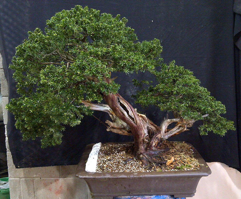 Little Cornish Trees My Best Bonsai Weekever