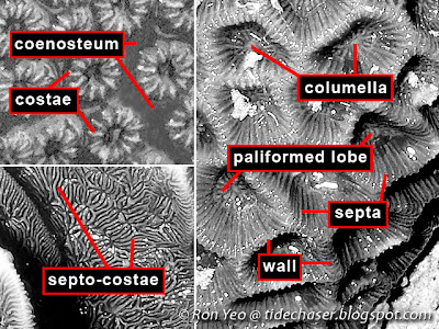 Parts of a corallite