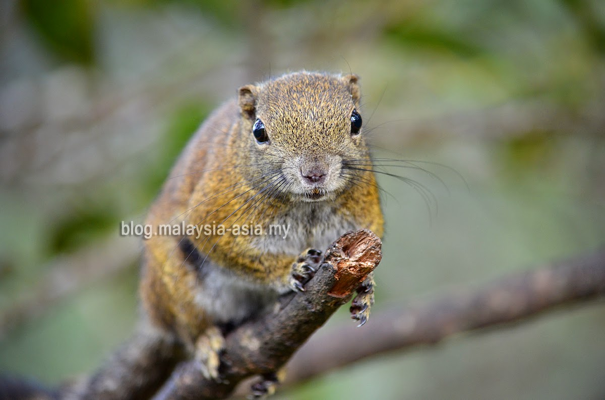 mountain squirrel Kinabalu