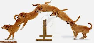 salto de cães
