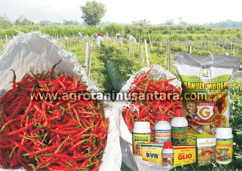 Cara Teknis Budidaya Tanaman Cabai Organik dengan produk Organik NASA dari PT. Natural Nusantara | Agro Nusantara | www.agrotaninusantara.com