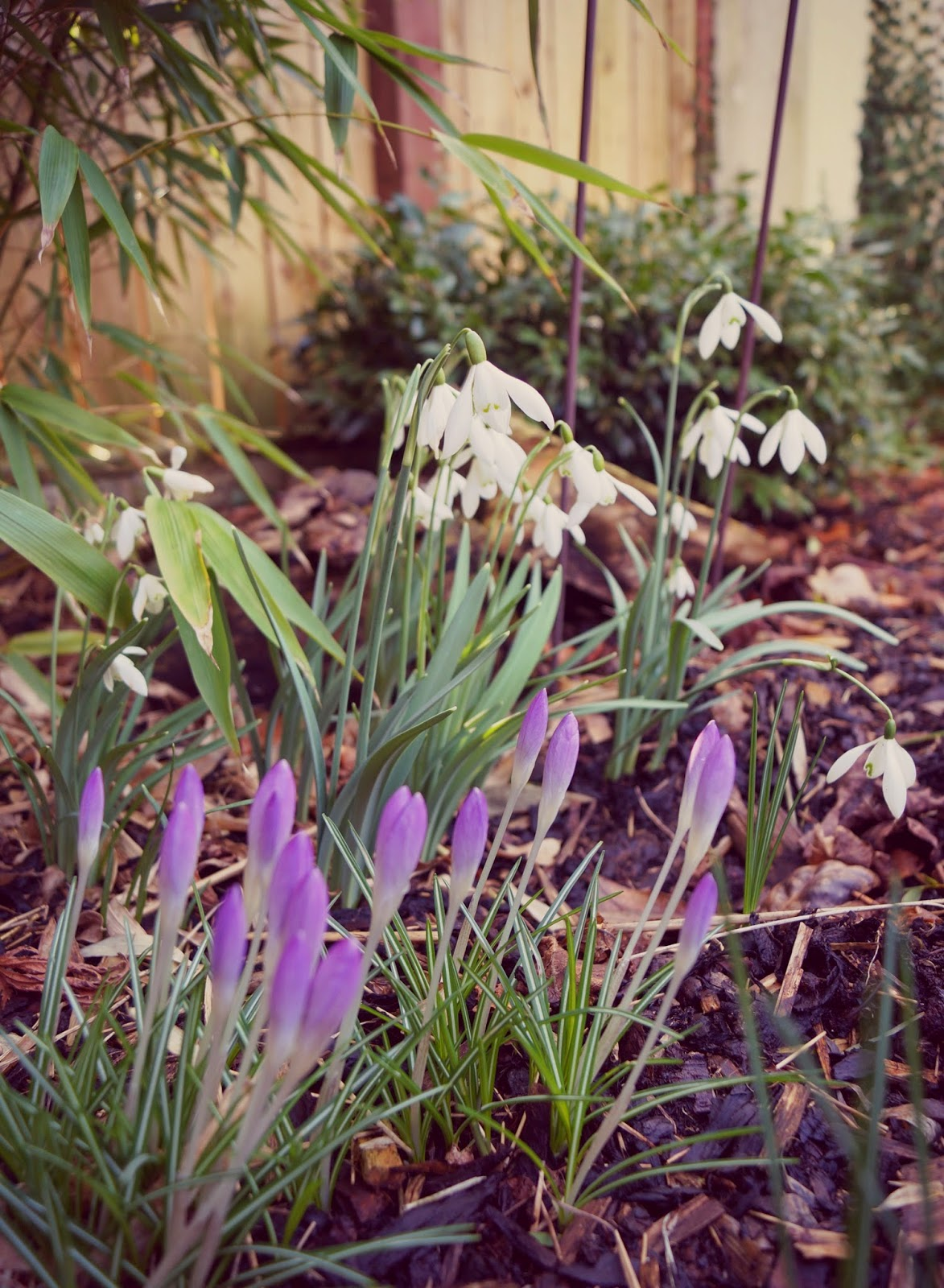 Snowdrops and Crocuses - 'Grow Our Own' Allotment blog
