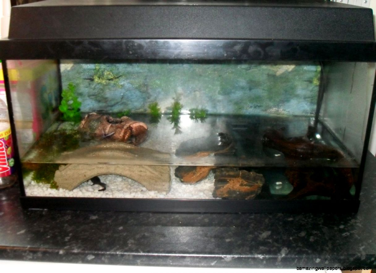 fire bellied newts  Worcester Worcestershire  Pets4Homes