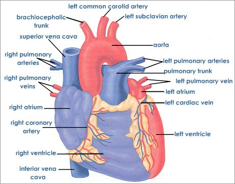 Perfect External Structure Of The Heart