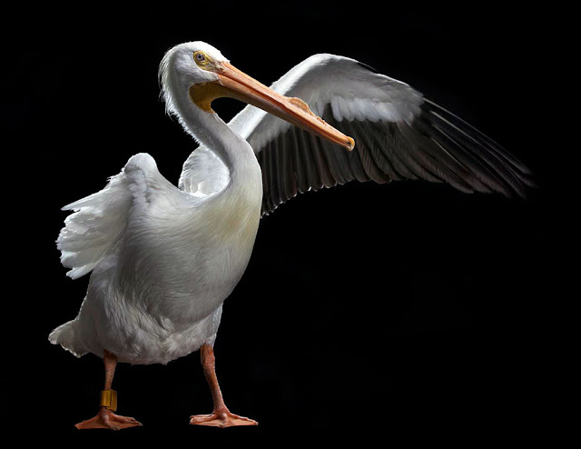 aves, supervivientes, Bob Croslin, fotografia, Grounded, Winged, Survivors, Florida, Gulf Coast, White Pelican, pelicano blanco, Suncoast Seabird Sanctuary