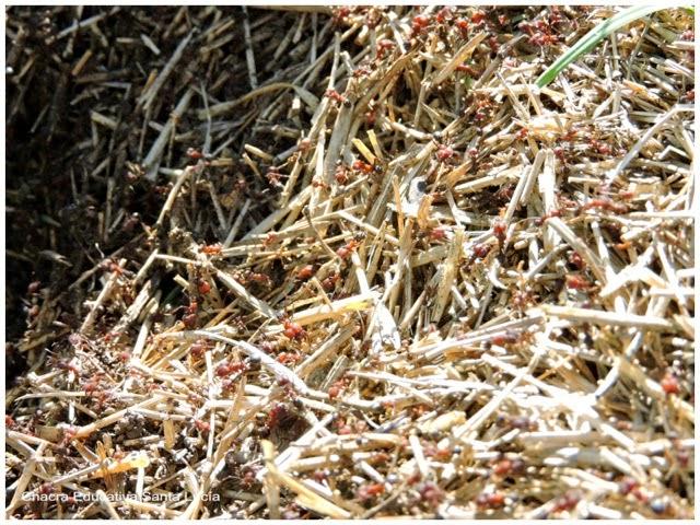 Hormiguero de hormiga colorada - Chacra Educativa Santa Lucía