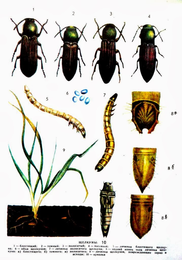 Проволочник - жук щелкун