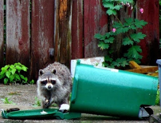 raccoon trash collector