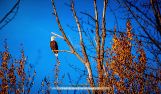 A bald eagle in a tree captured by Chris Gardiner Photography www.cgardiner.ca
