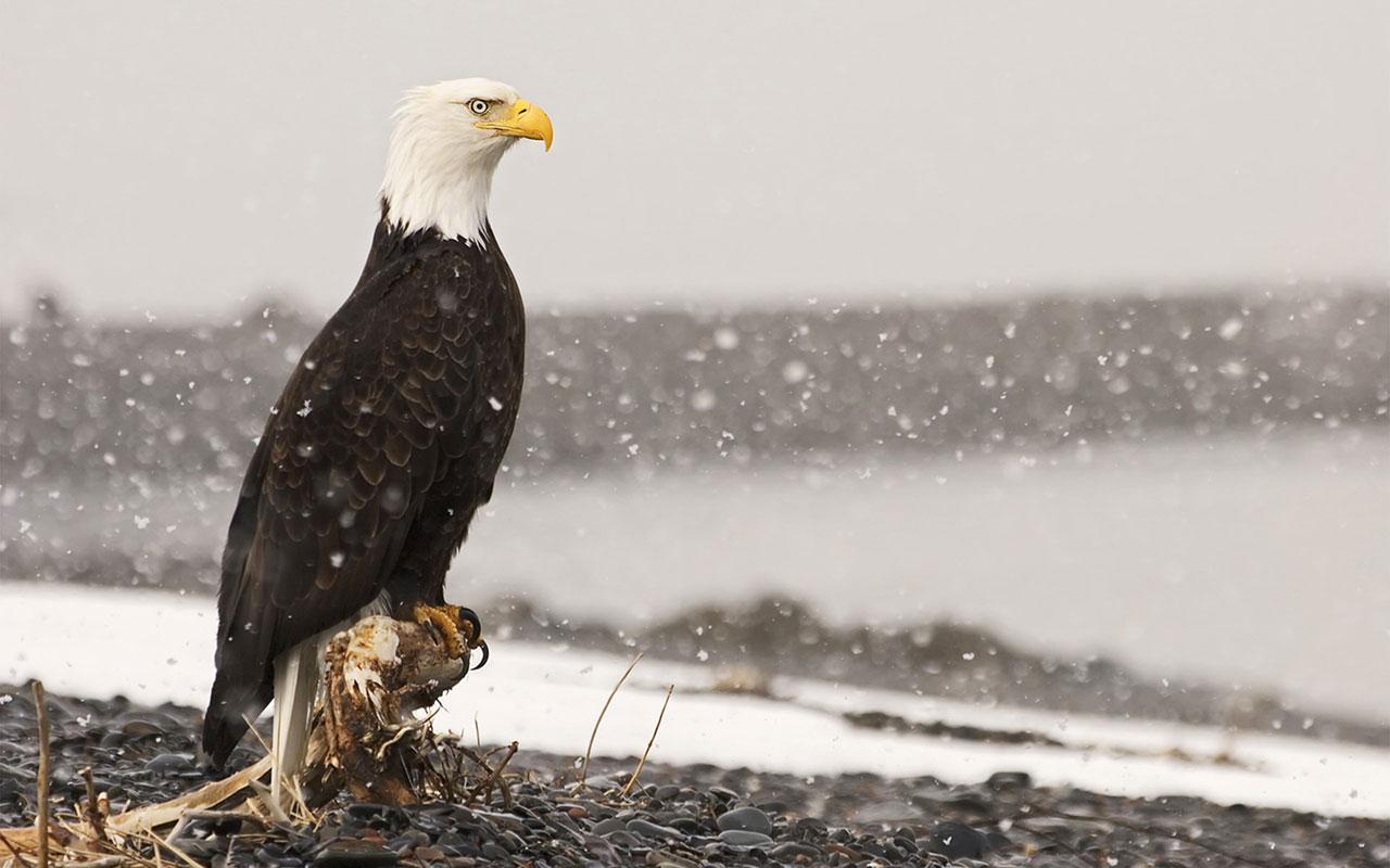 http://3.bp.blogspot.com/-rdg9DTE0TlA/UOMpnoLakzI/AAAAAAAAGiA/ROfIhAlSWFc/s1600/Bald-Eagle-HD_Wallpapers-2012+03.jpg
