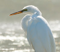 Great Egret at Farmington Bay